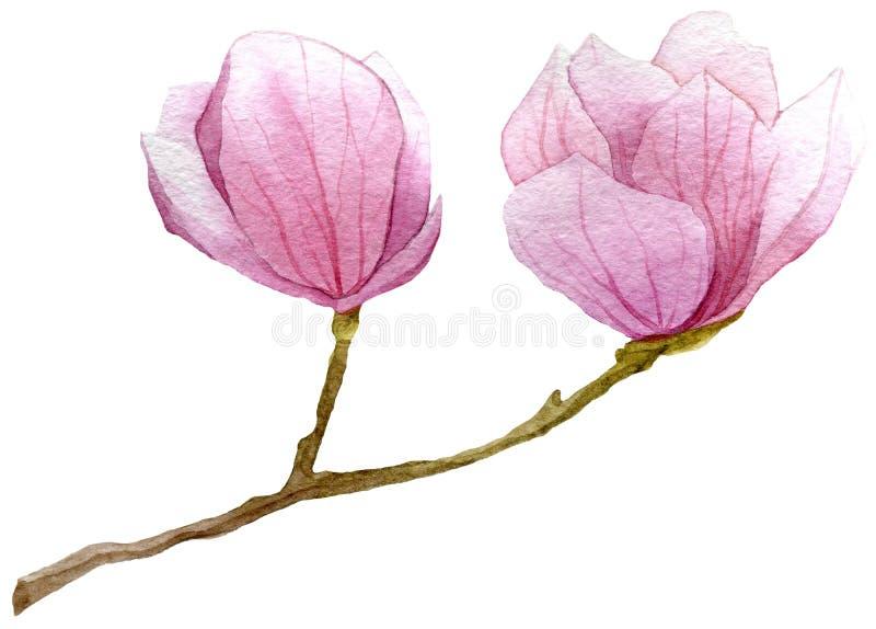 Vårbakgrund med vattenfärgfilialen av magnolian Hand dragen botanisk illustration vektor illustrationer