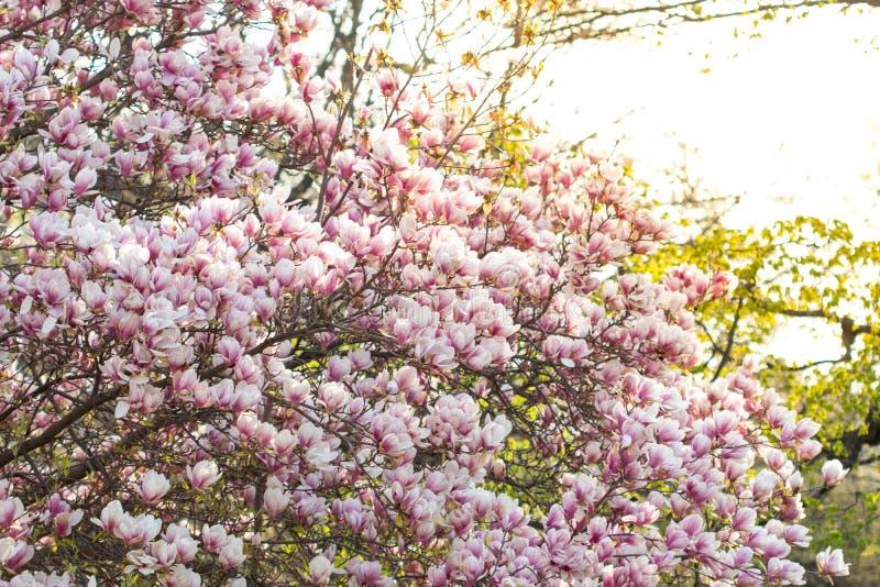 Vårbakgrund som blomstrar soulangeanaträdet för magnolia x royaltyfri foto