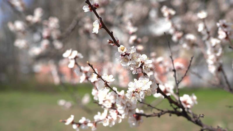 Vårbakgrundssakura blommor h?rlig s?song royaltyfri fotografi