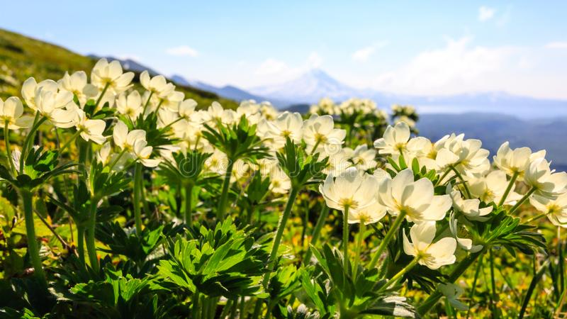 Vårberglandskap med vita blommor Sikt av vulkan Ilinsky, Kamchatka halvö, Ryssland royaltyfri bild