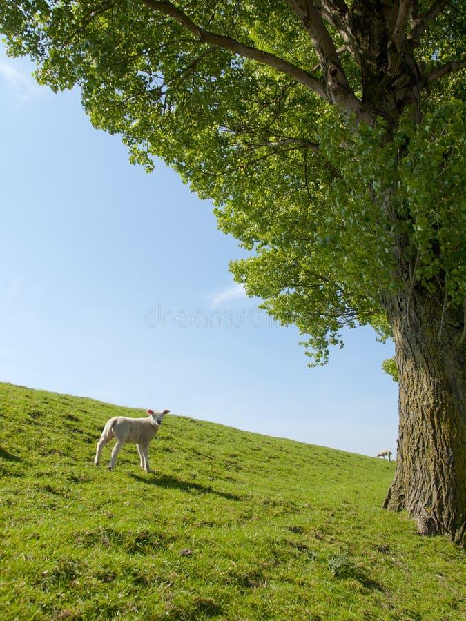 Vårbild av ett ungt lamm arkivbild