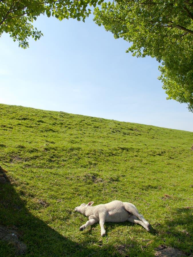 Vårbild av ett vila ungt lamm fotografering för bildbyråer