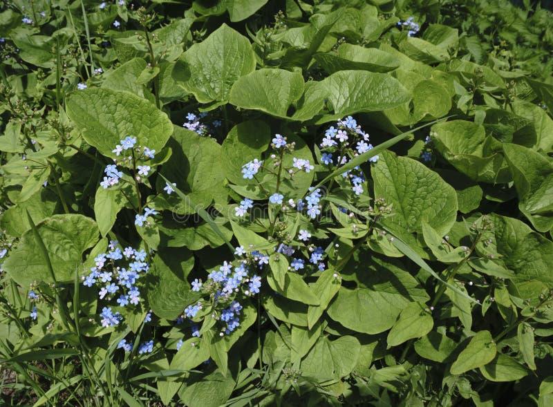 Vårblått blommar på vit arkivbild