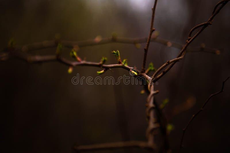 Vårbladknoppar arkivfoto
