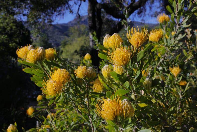 Vårblom i Kalifornien på Taft botaniska trädgårdar, Ojai C fotografering för bildbyråer