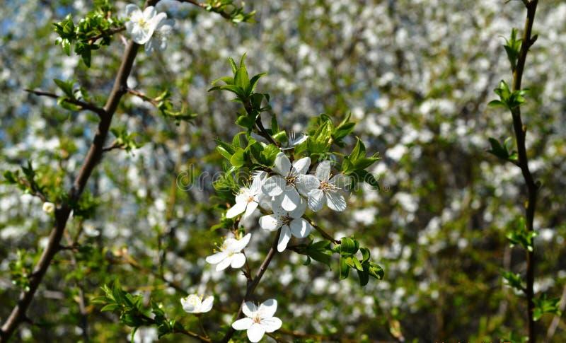 Vårblom i Ryssland av de vita blommorna för körsbärsröda träd royaltyfria foton