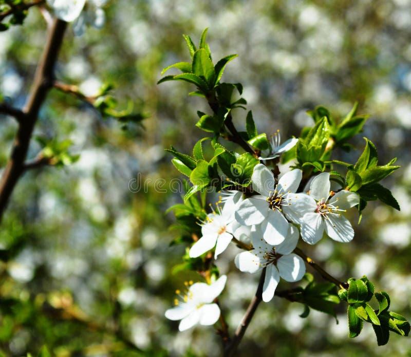Vårblom i Ryssland av de vita blommorna för körsbärsröda träd fotografering för bildbyråer