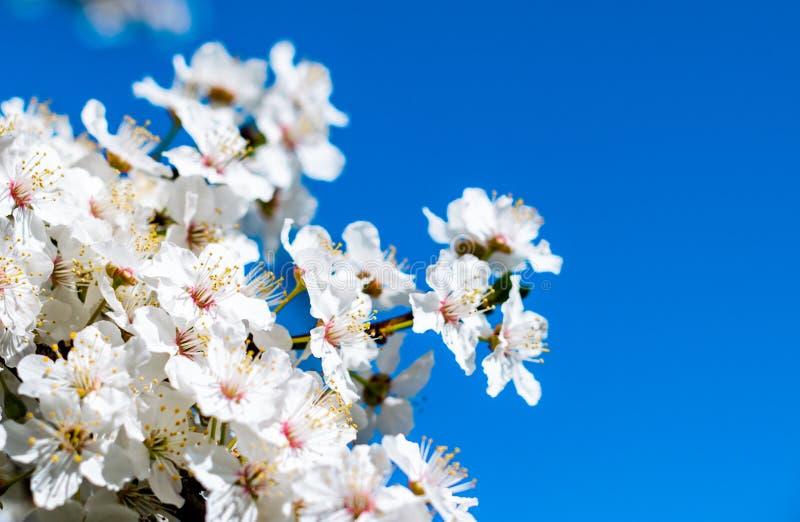 Vårblomma, körsbärsröda blomningar arkivbilder
