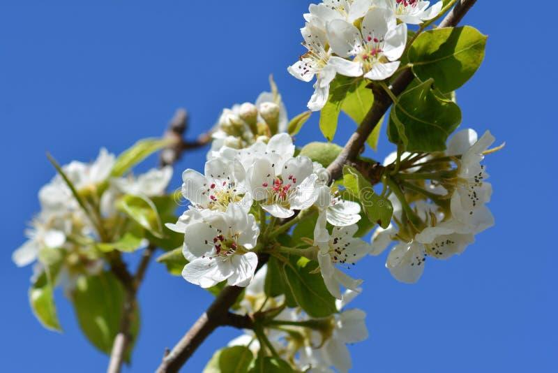 Vårblommor, äppleblomning på träd arkivbilder