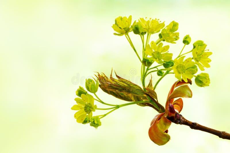 Vårblommor av det Norge lönnträdet, Acer platanoides, igen royaltyfria foton