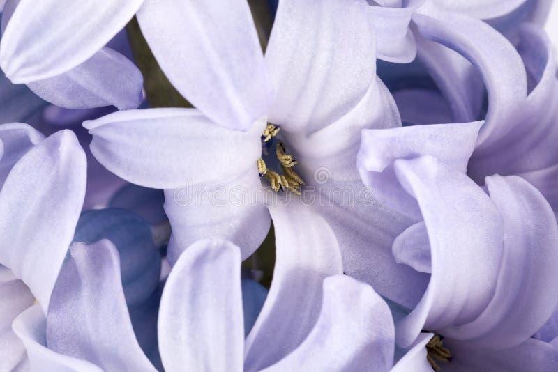 Vårblommor av hyacinten på vit bakgrund arkivfoto