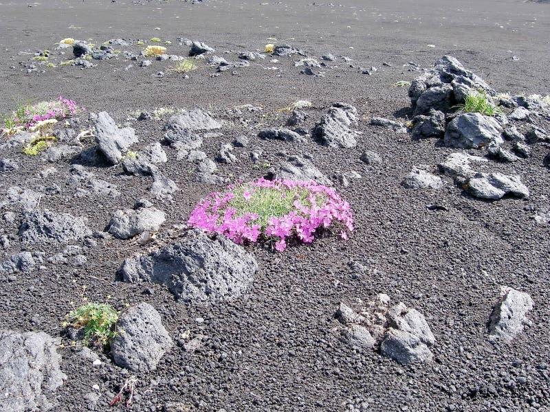 Vårblommor av Kamchatka Blommor och lava av vulkan Dal av Geysers fotografering för bildbyråer