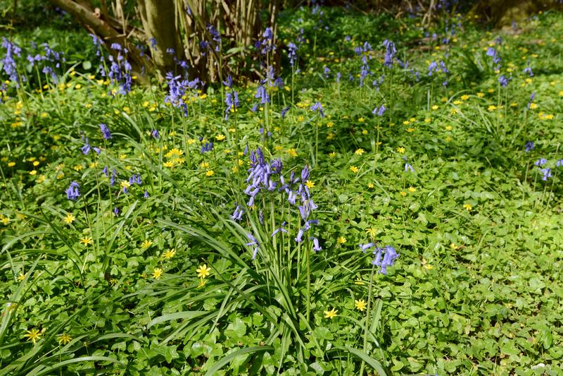 Vårblommor - blåklockor och celandines i skogsmark royaltyfri fotografi