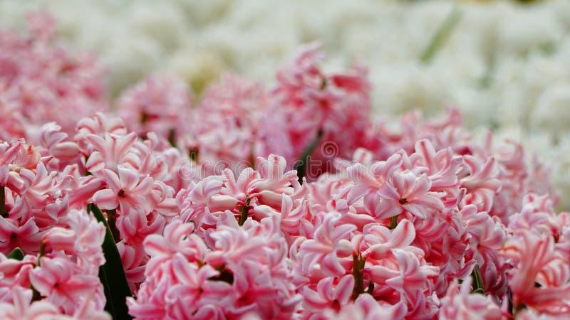 Vårblommor: ett slut upp av den mjuka rosa hyacinten med den suddiga vita hyacinten i bakgrunden arkivbilder