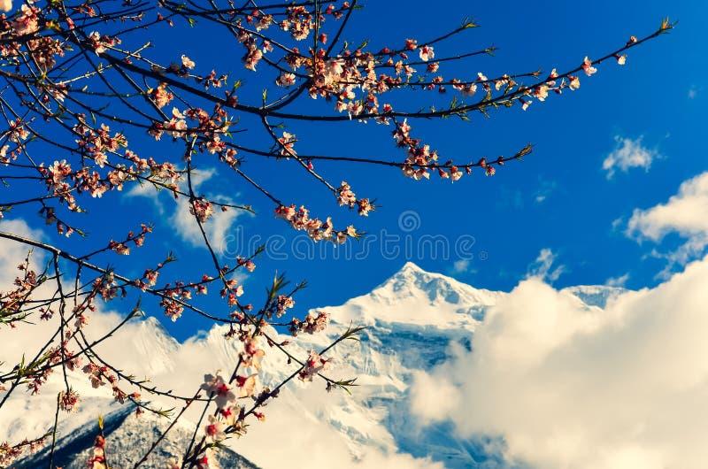 Vårblommor för körsbärsrött träd med bergmaximumet i bakgrund, Himalayas, Nepal arkivbilder