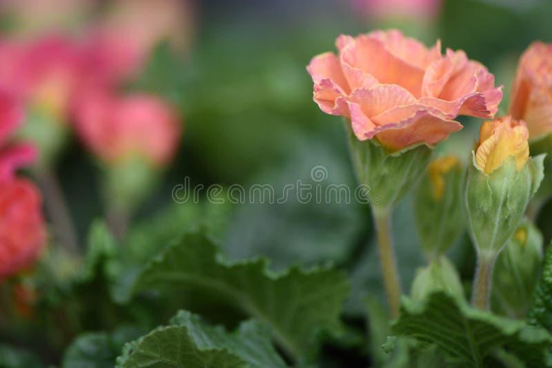 Vårblommor med en primula för persikakorallfärg i blom med en färgrik naturlig trädgårds- suddighetsbakgrund fotografering för bildbyråer