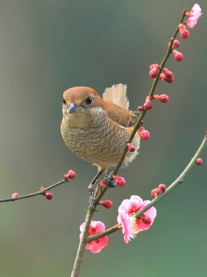 Vårblommor och fåglar, Tjur-hövdad törnskata och körsbärsröda blomningar arkivfoton