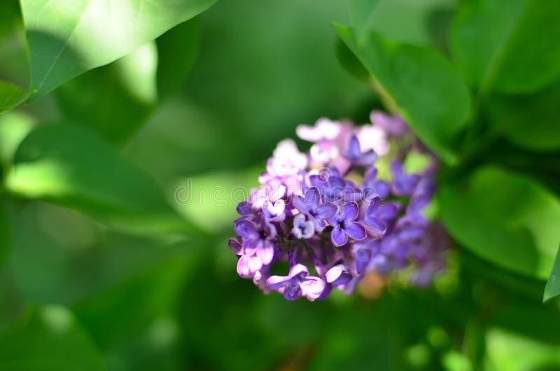 Vårblomning av lilan royaltyfria bilder