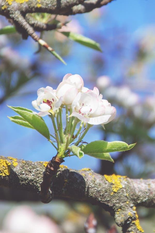 Vårblomning: filial av ett blomstra äppleträd på trädgårdbakgrund och blå himmel royaltyfri bild