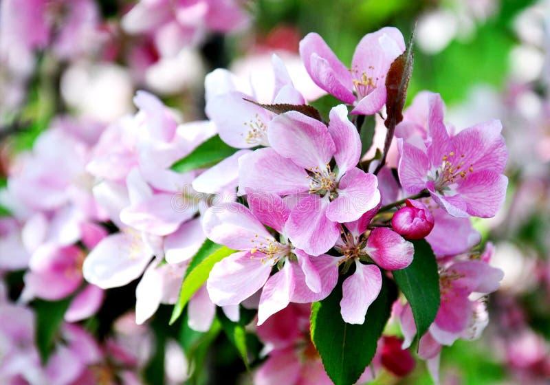 Vårblomning: härliga blommor på äppleträdet i trädgård arkivbild