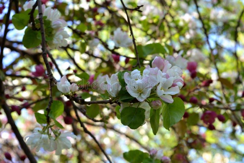 Vårblomning i fruktträdgård Filialer med härliga blommor royaltyfria bilder
