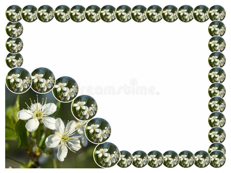 Vårblomning till körsbär på vit bakgrund royaltyfri foto