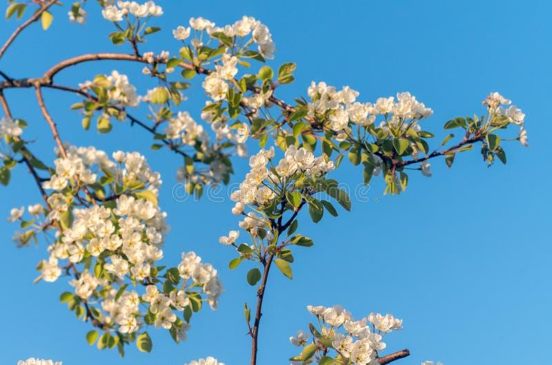 Vårblomningar av att blomma päronträdet i vår royaltyfri bild