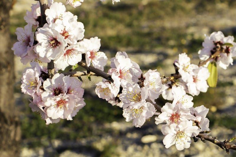 Vårblomningbakgrund Härlig naturplats med att blomma trädet på solig dag just rained Härlig fruktträdgård i vår arkivfoto