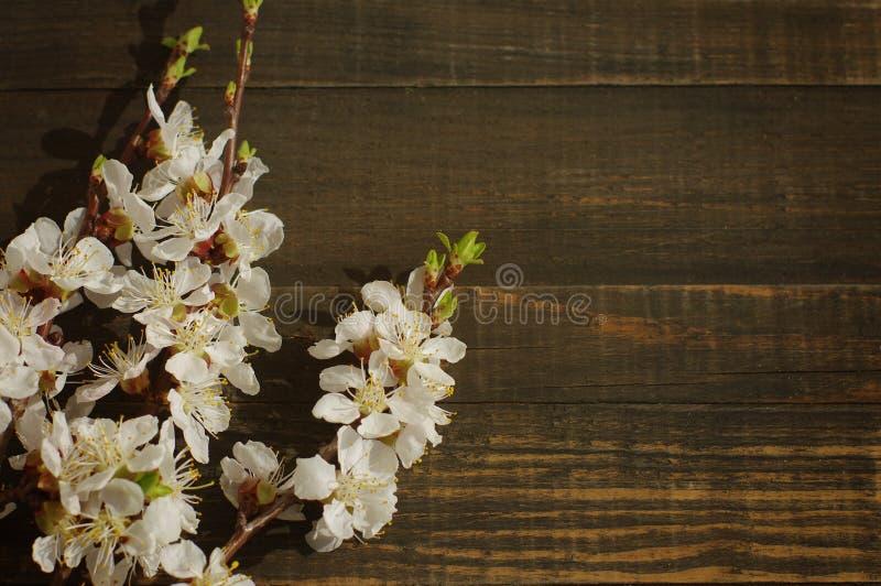 Vårblomningfilial på träbakgrund royaltyfria bilder