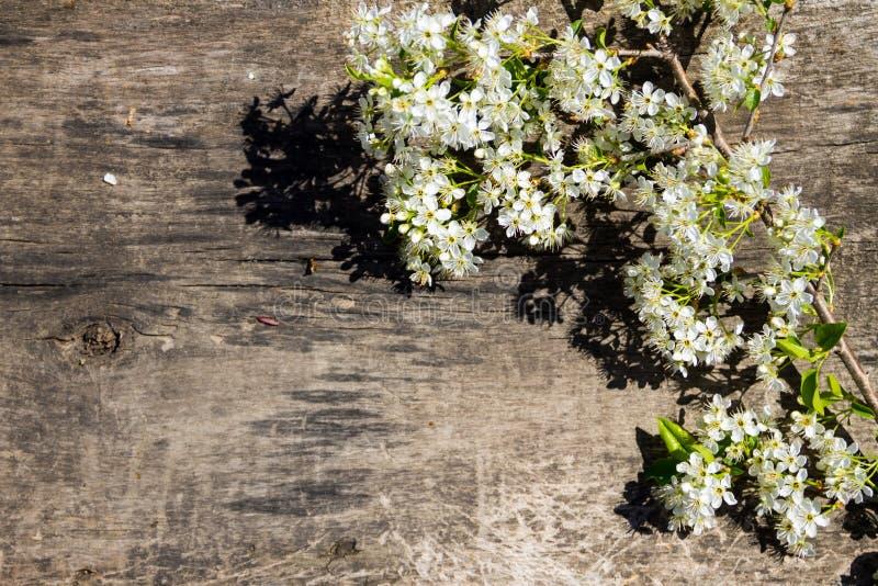 Vårblomningfilial på träbakgrund arkivbilder