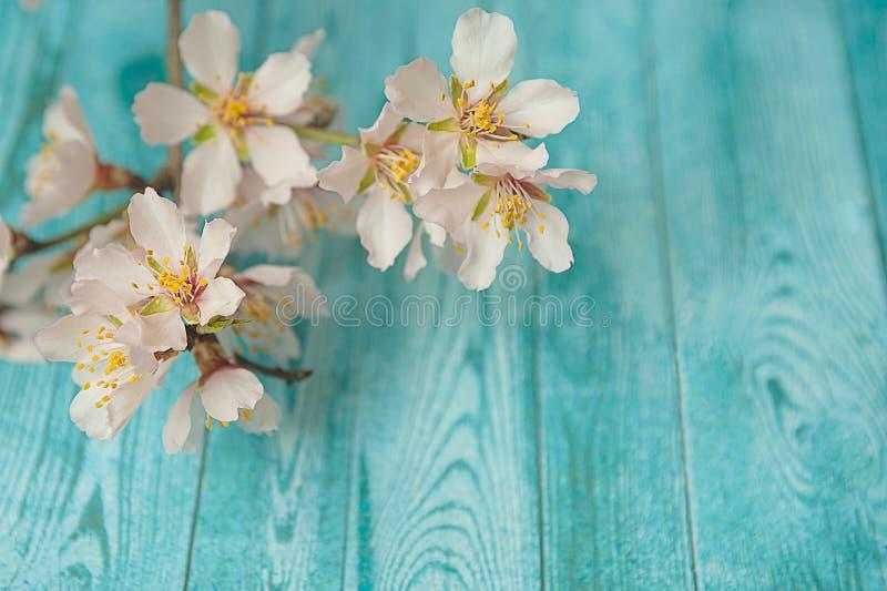 Vårblomningfilial på träbakgrund Persikablomningöppning med briljant rött royaltyfri fotografi