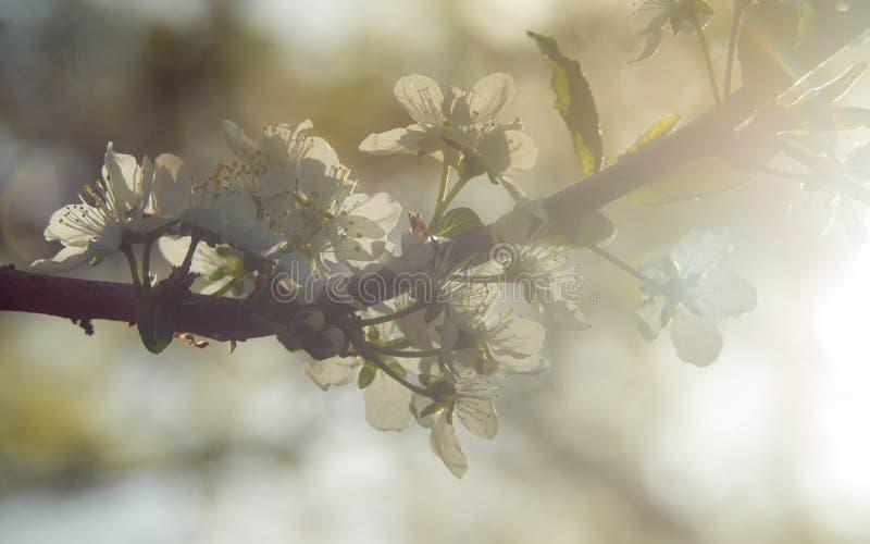 Vårblomningkörsbär i trädgården royaltyfri bild