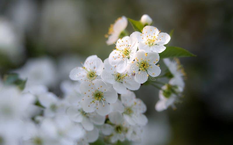 Vårblomningkörsbär i trädgården royaltyfria foton