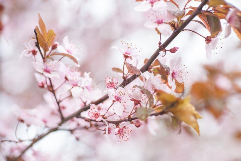 Vårblomningkörsbär, närbild för vita blommor arkivfoto