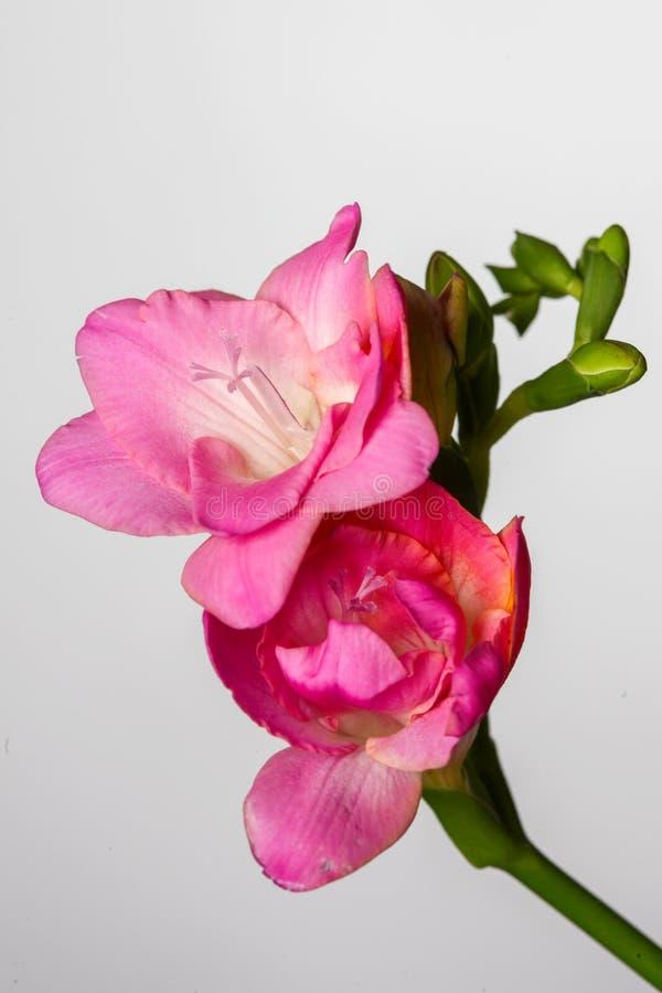 Vårblomningrosa färgen blommar på vit bakgrund fotografering för bildbyråer