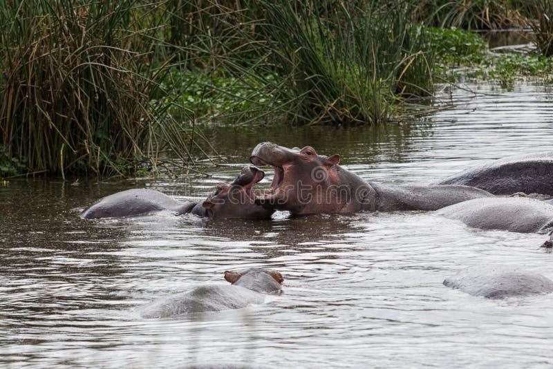 Vårda för flodhästmoder som är dess, behandla som ett barn royaltyfri foto