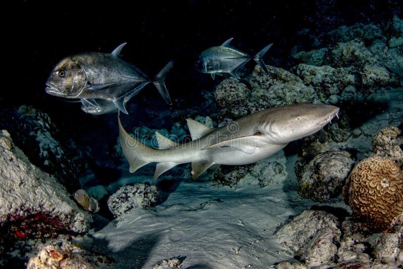 Vårda Shark som är nära upp på svart på natten royaltyfri fotografi