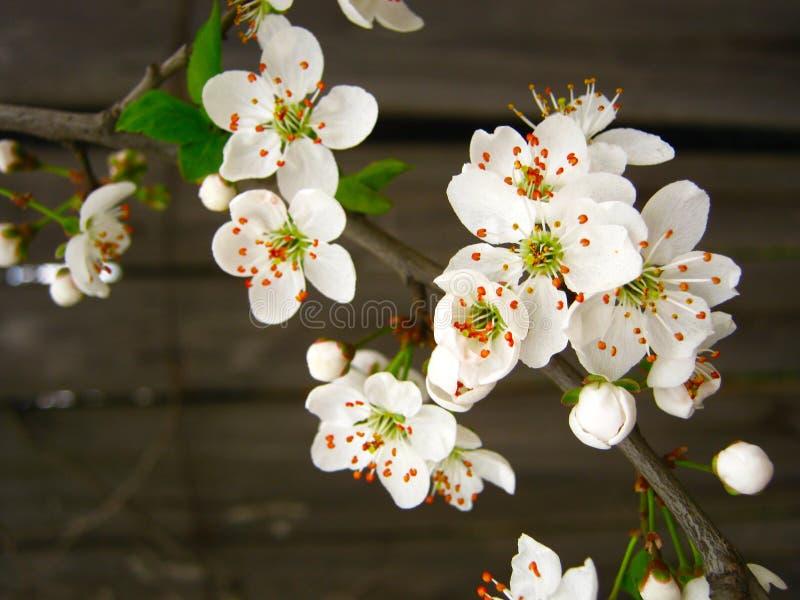 Vårdag och filialer av körsbärsröda blomningar i trädgården arkivbild