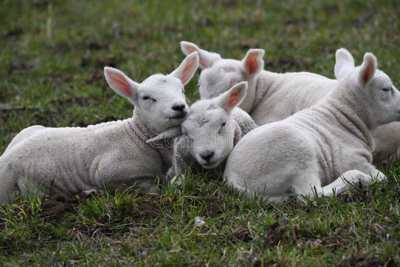 Våren är där för de nyfödda lammen, slutligen utanför arkivbild