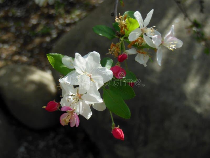Våren är den Apple blomningen Tid royaltyfri foto