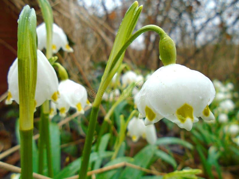 Våren är kommande, snöflingor blommar i djup lös natur i skog i mitt av Europa royaltyfria foton
