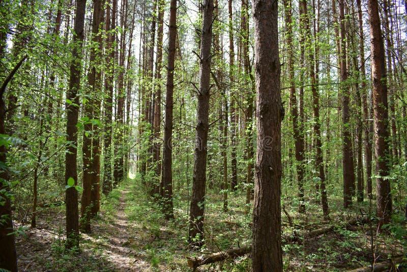 Våren är tiden, då pinjeskogen tycker om solen och värmen royaltyfri foto