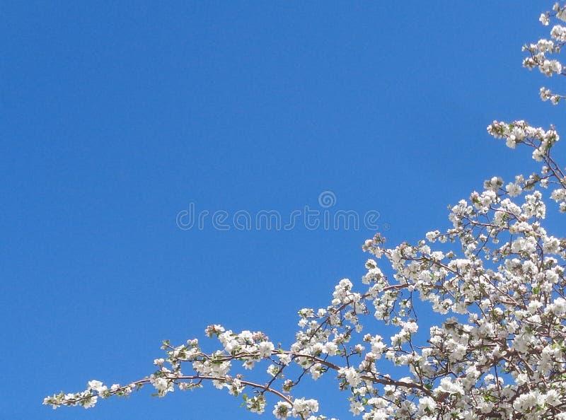 Våren Apple blomstrar mot blå himmel - bakgrund royaltyfri foto