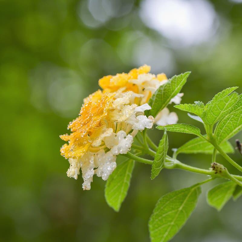 Våren av blomman med vatten tappar tätt upp royaltyfri foto