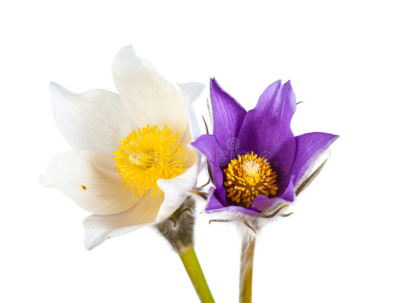 Våren blommar cutleafanemonen arkivfoto