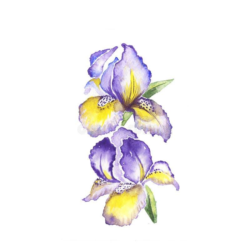 Våren blommar fransk lilja som målar vattenfärgen royaltyfri illustrationer