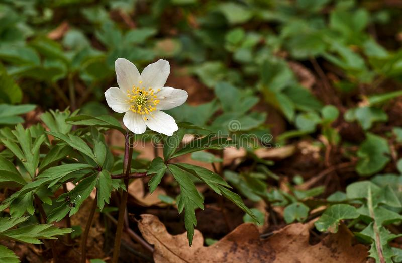 Våren blommar i skogen - den wood anemonen, windflower, thimbleweeden, nemorosa för lukträvanemon arkivfoton