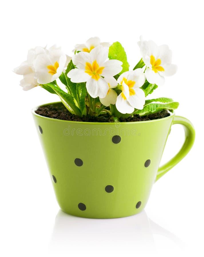 Våren blommar med sidor i kruka royaltyfri fotografi