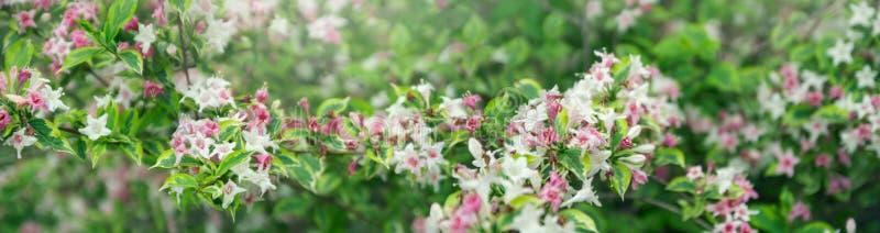 Våren blommar naturlig bakgrund Vita och rosa blommor på filialer med gröna sidor Härligt banerformat royaltyfri fotografi