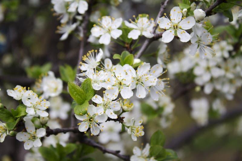 Våren blommar på ett träd royaltyfri bild
